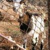 Goat on the way to Pelekita.JPG