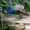 Knossos peacock.JPG