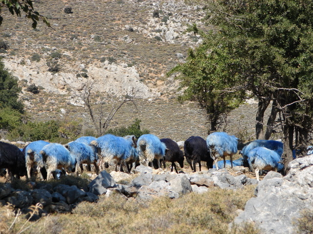 Blue sheep!