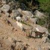 Cretan goats