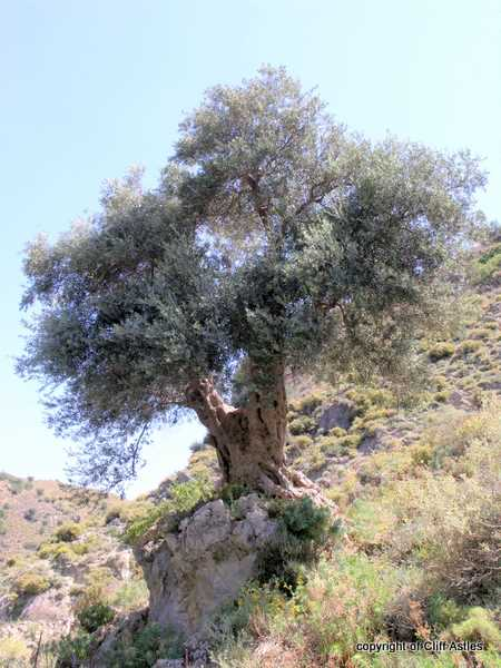 Historic Olive tree of the Rock !!
