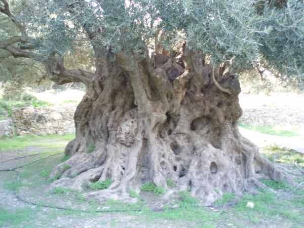 Ancient olive tree near Kavousi,Lasithi,reputed to be 3,500y