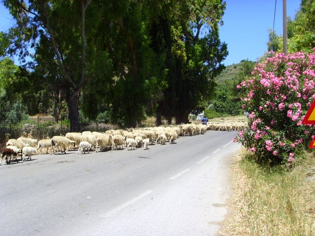 Sheep in the Amari valley