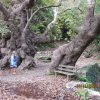 2000year old plane tree,all one tree.Near Argiroupolis Rethy